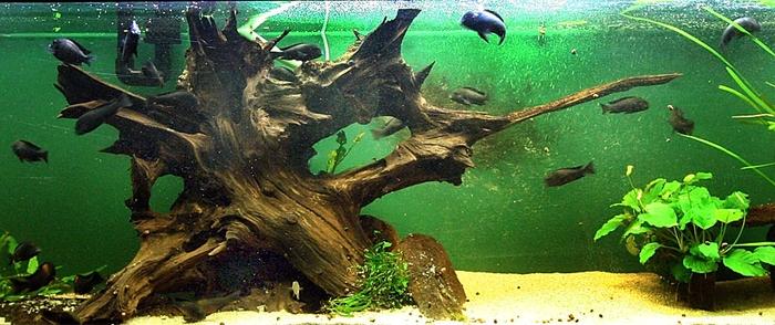 фото коряга в аквариуме